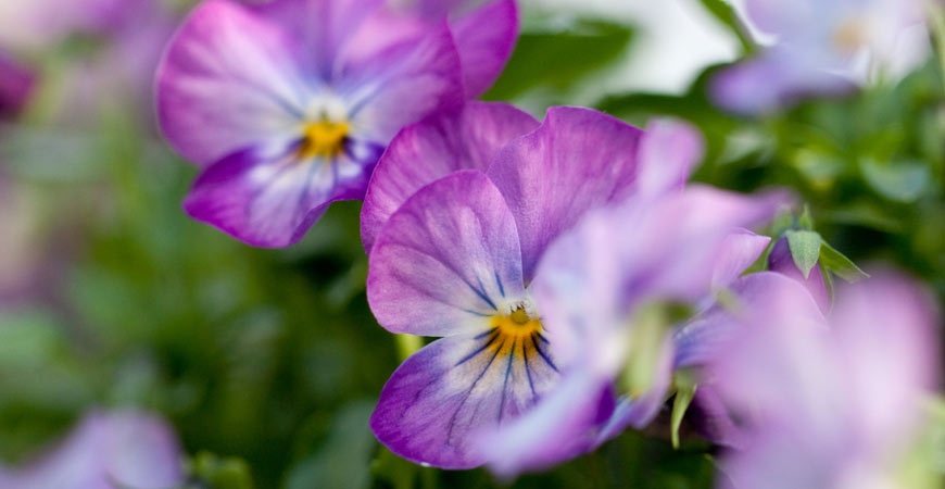 edible flowers to plant in garden