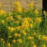 Ragweed Alert! How to Survive 2021's Supercharged Fall Allergy Season