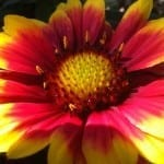 Flower Spotlight: Meet the Beautiful Blanket Flower