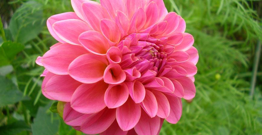 dahlia flower spotlight