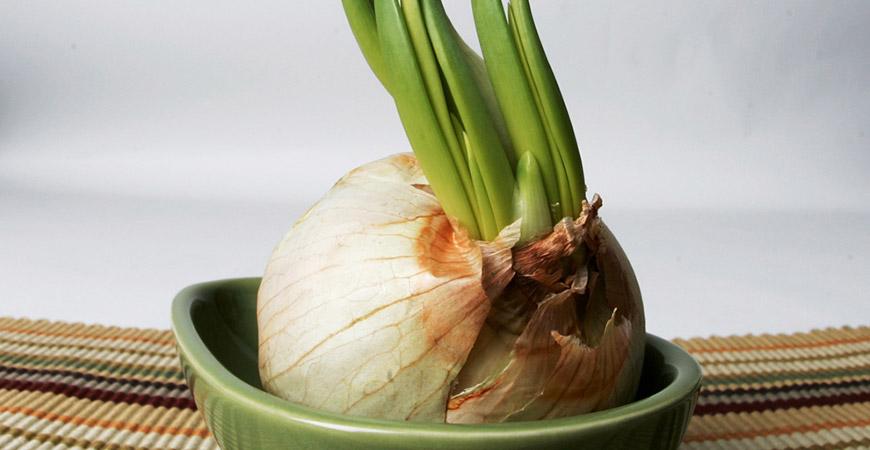 growing garlic plant