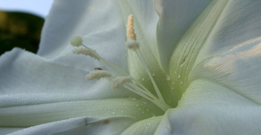 moon flowers up close