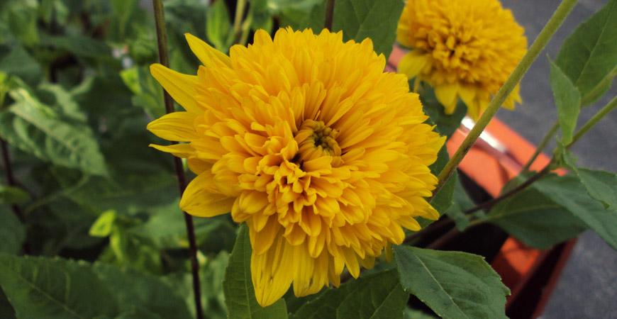 beautiful fall perennial sunflower