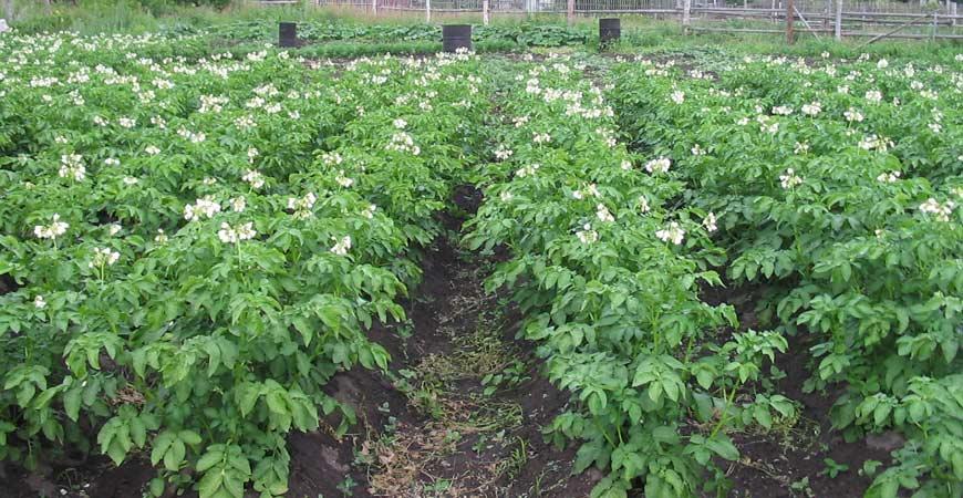 planting potato plants