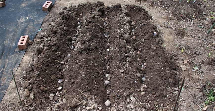 growing potatoes in garden