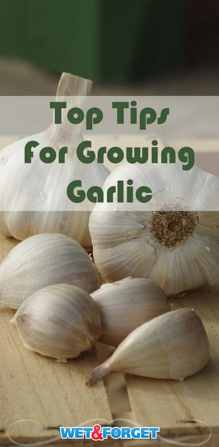 National Garlic Day is this week! Discover the top tips and tricks for growing garlic with our guide!