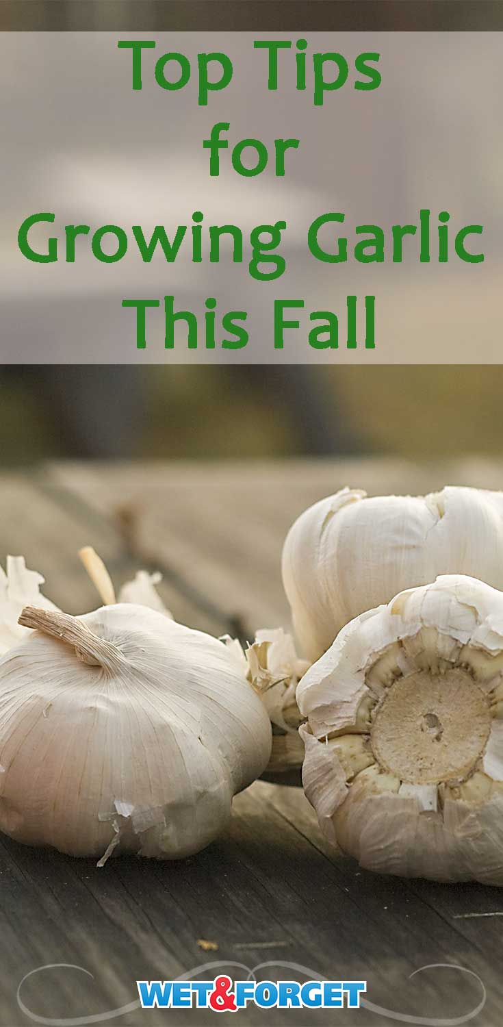 Growing garlic this fall just got even easier! Follow our quick garlic growing guide for the top tips and tricks.