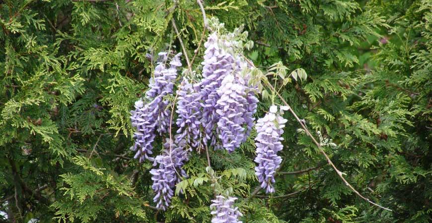 fragrant wisteria flower