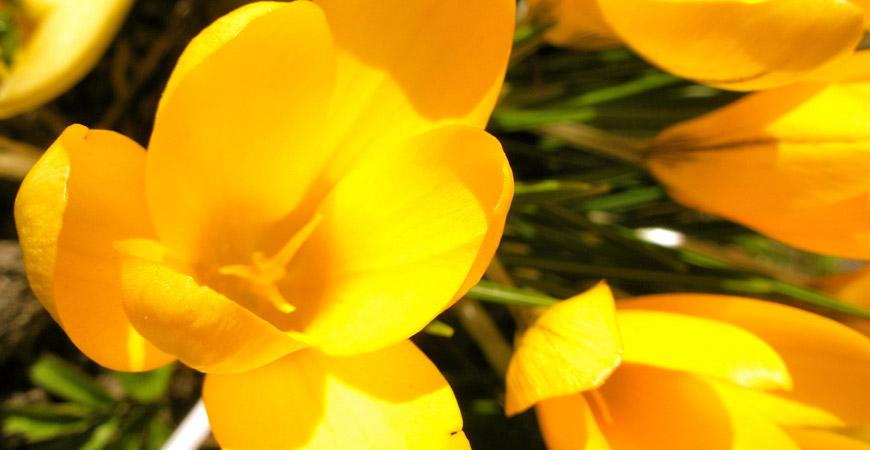 yellow tulip flower garden