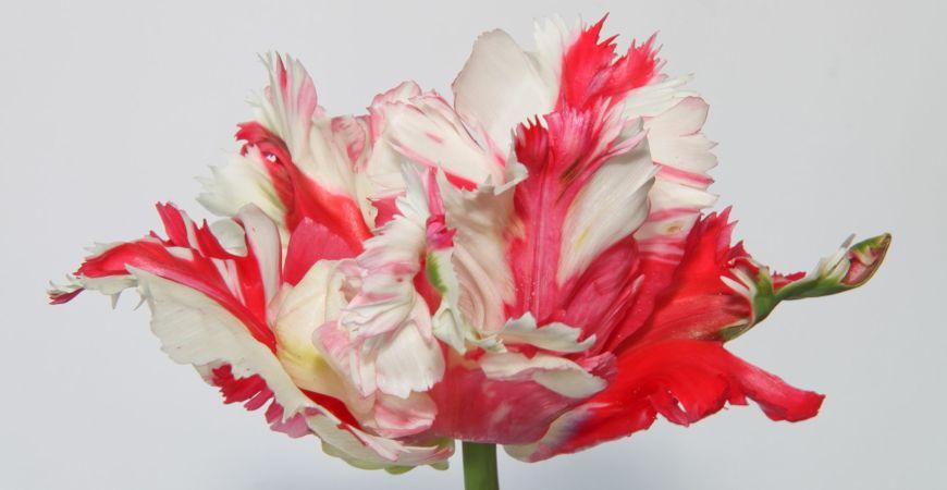 extraordinary parrot tulip