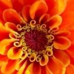 Flower Spotlight: Worry-Free Zinnias Bring a Rainbow to your Garden