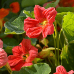 Flower Spotlight: Nasturtium has all the Beauty and none of the Fuss!
