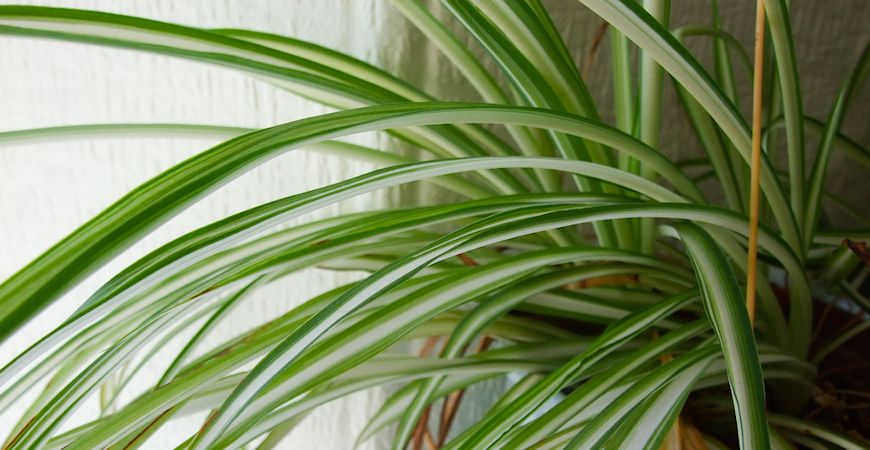 taking care of spider plants