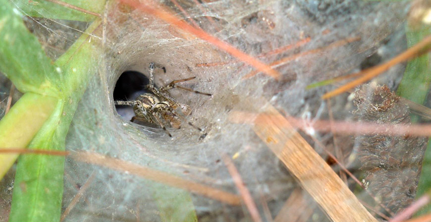 spider inside funnel webbing