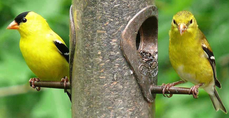 Attract birds, such as the goldfinch, to your garden.