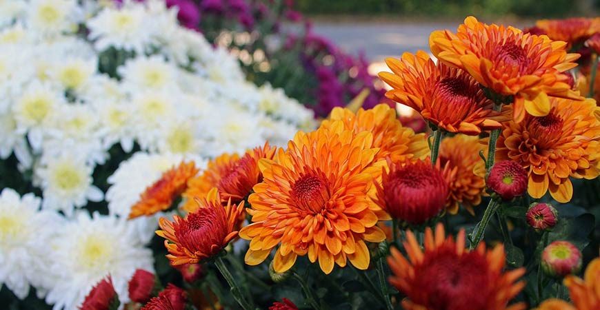 Mums are the perfect flower to add to your garden this fall.