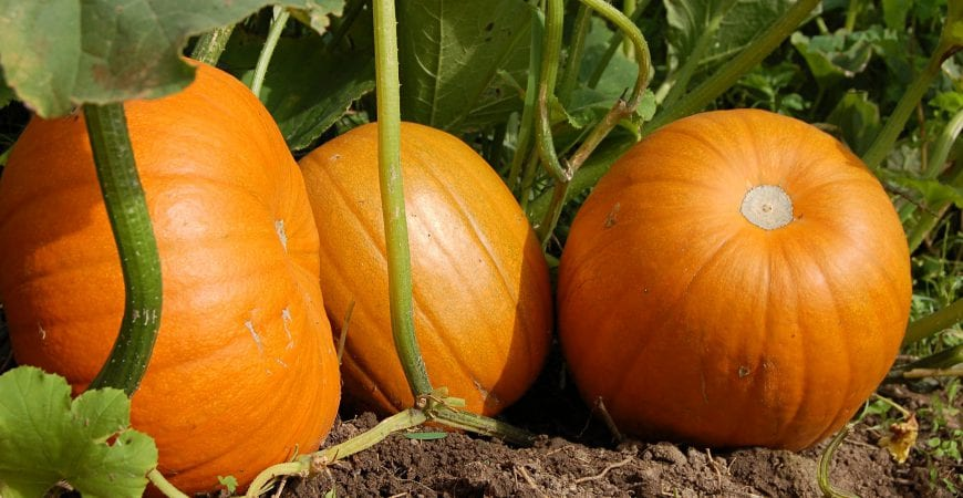 Ask Wet Forget Pumpkin Seeds For Planting Using This Easy