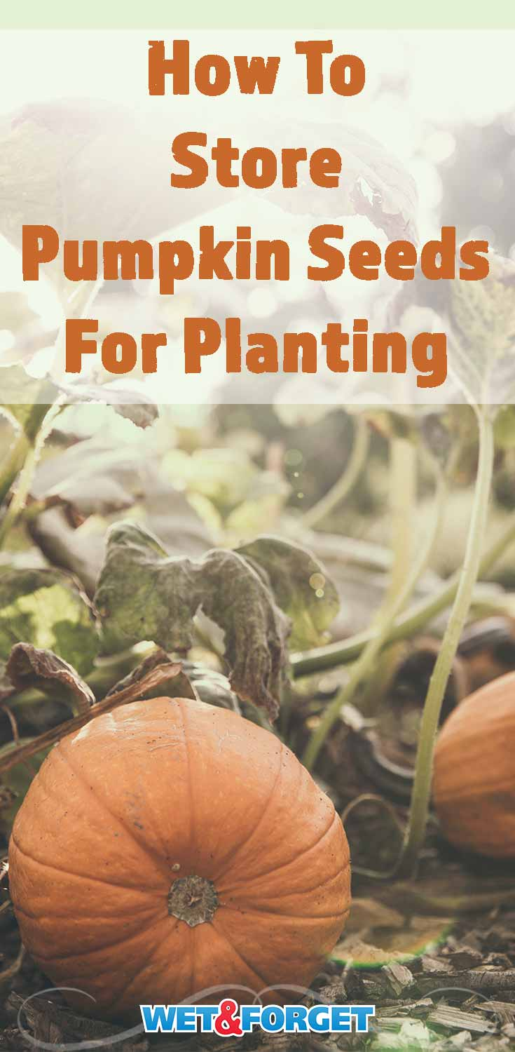Learn about the top methods for storing pumpkin seeds for planting this fall!