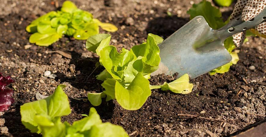 Growing lettuce.