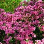 Essential Shrub Care Tips for the Home Landscape