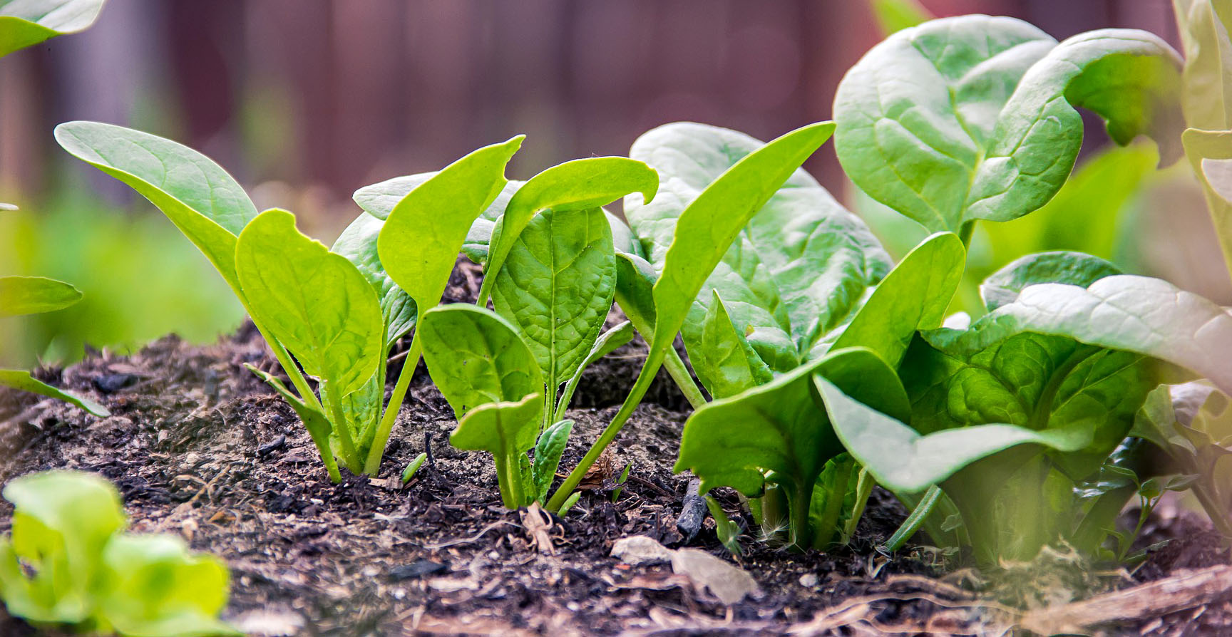 salad garden ideas