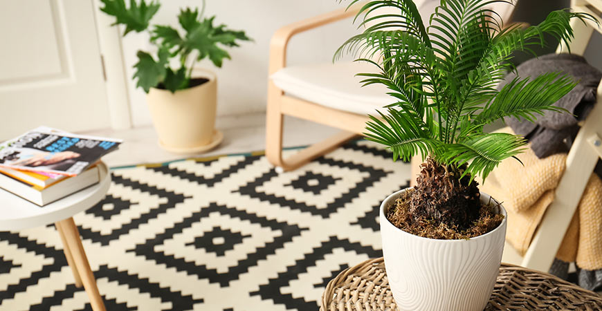 Growing a palm tree indoors is easy when using our guide!