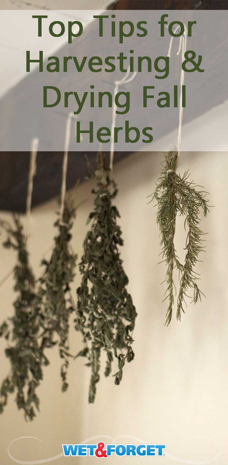Easily harvest and dry your fall herbs by following these pointers!