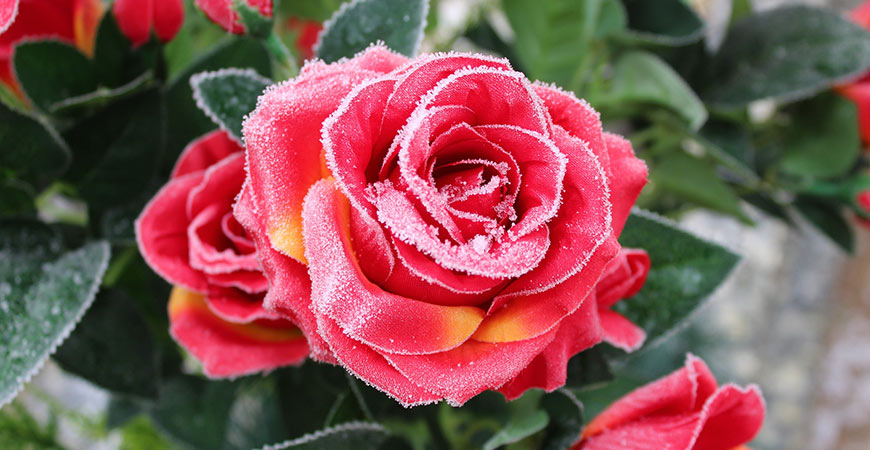 Rose after first frost