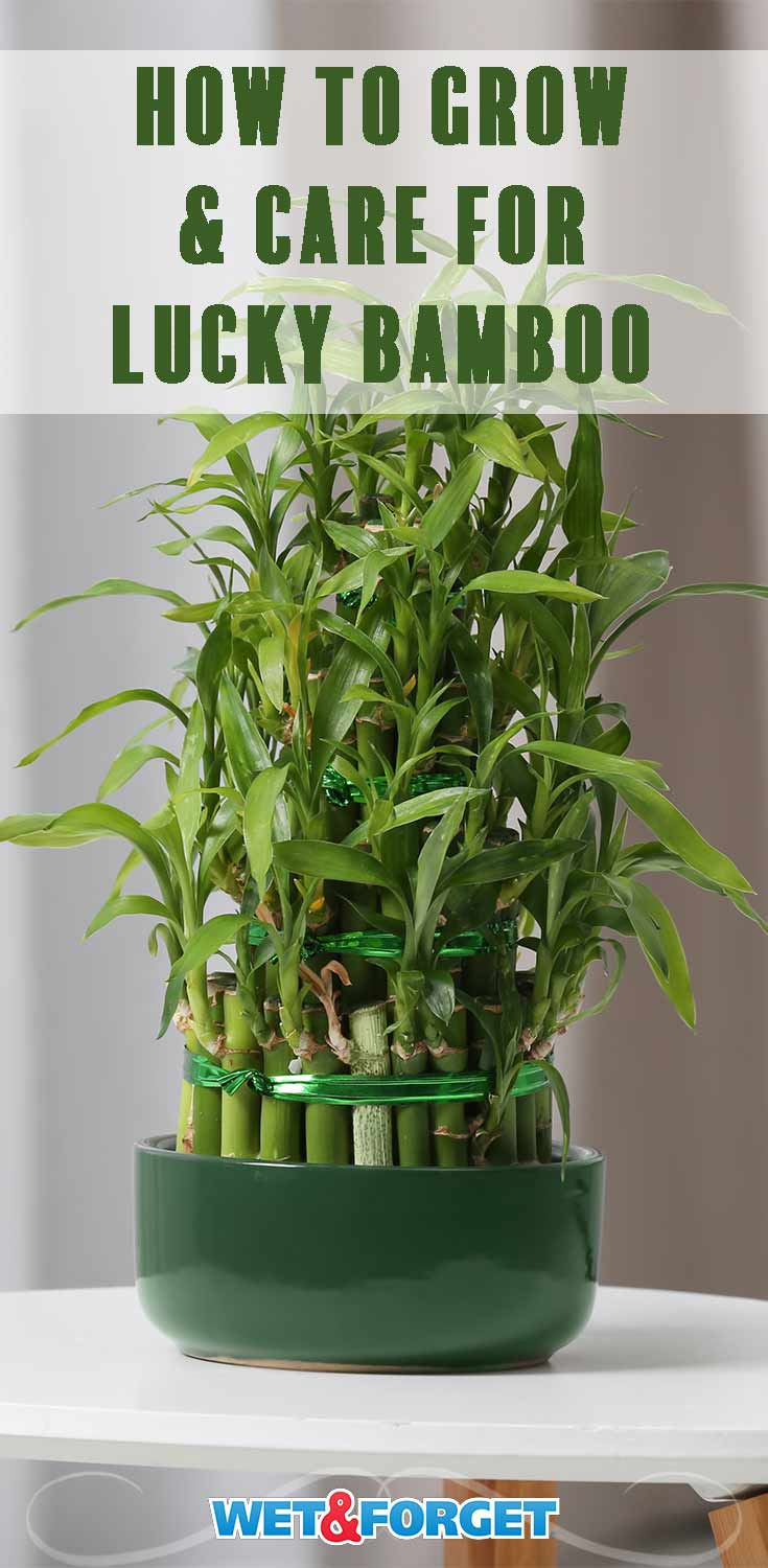 Bring good luck to your home by growing lucky bamboo! Follow these easy care tips to keep your bamboo plant healthy.