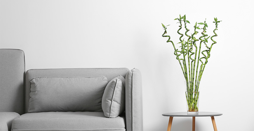 Lucky bamboo in vase