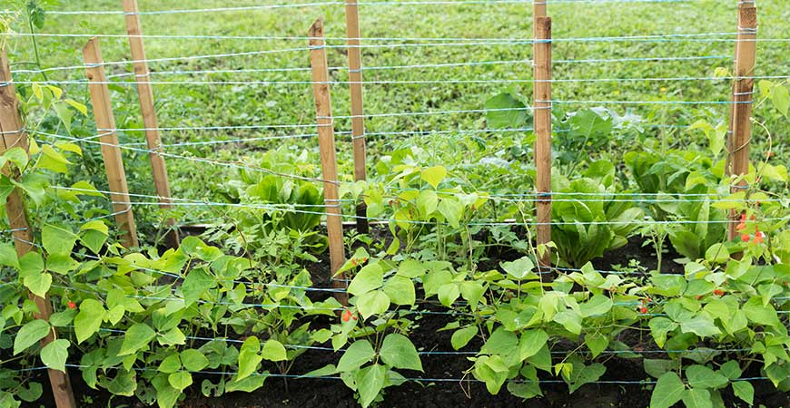 A staked row works great for thick-vined plants