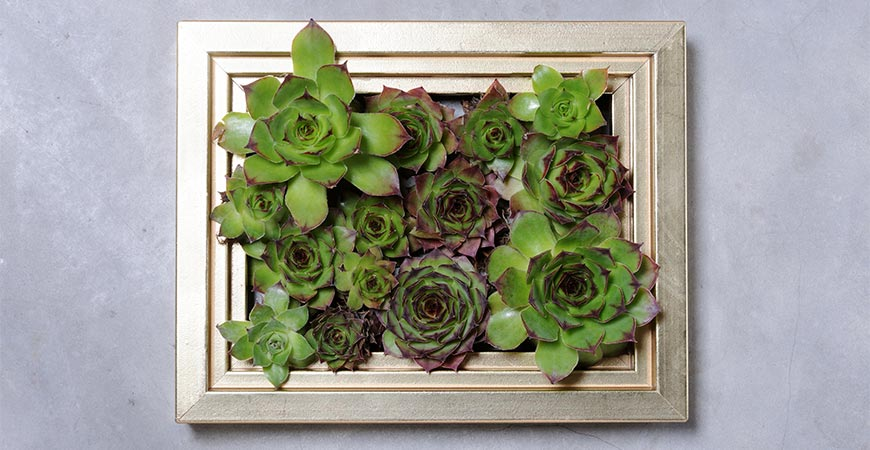Framed succulents make a great Mother's Day gifts