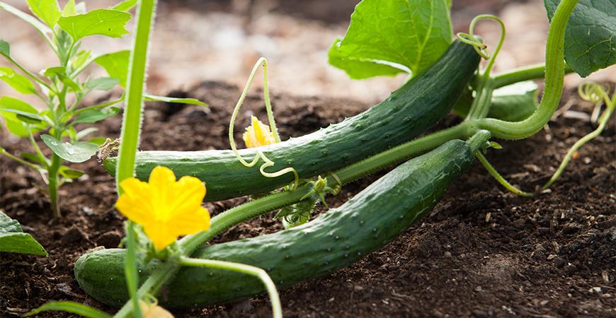 growing summer vegetables