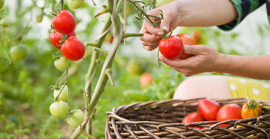 Why you should grow tomatoes in the summer time
