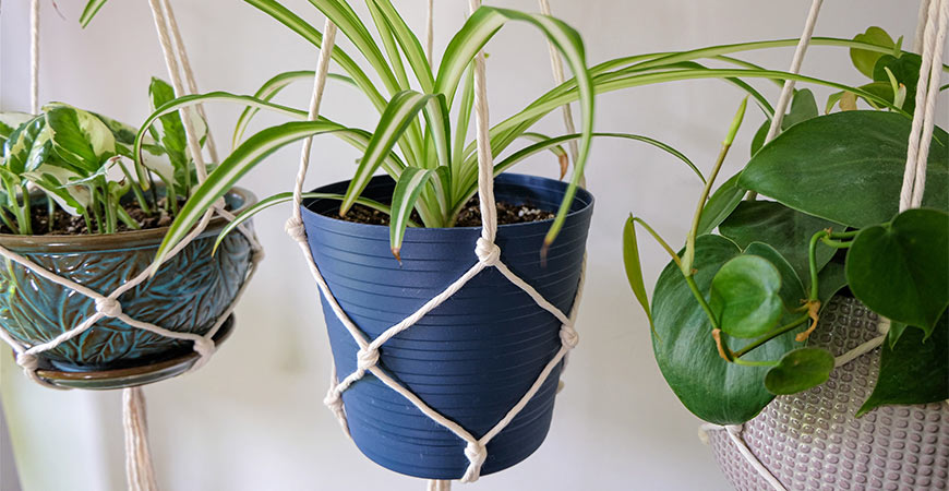 spider plant (middle)