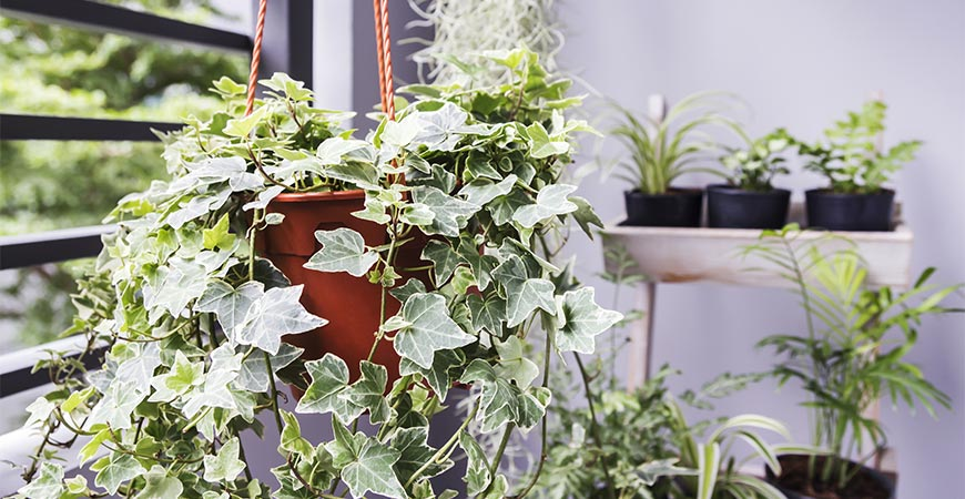 hanging english ivy