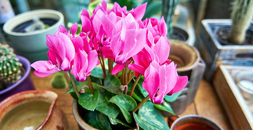 potted flowering cyclamen