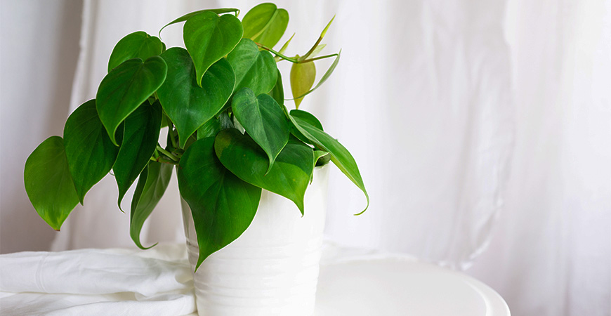 heart leafed philodendron for valentine's day