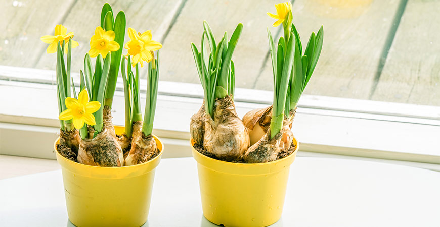Growing daffodil bulbs indoors