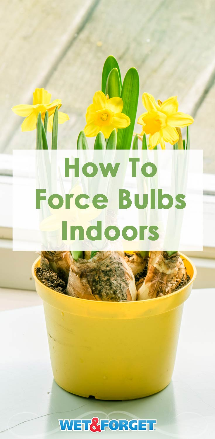Discover how to force bulbs indoors for winter blooms!