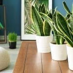 Clean the Air in Your Home by Growing Snake Plant