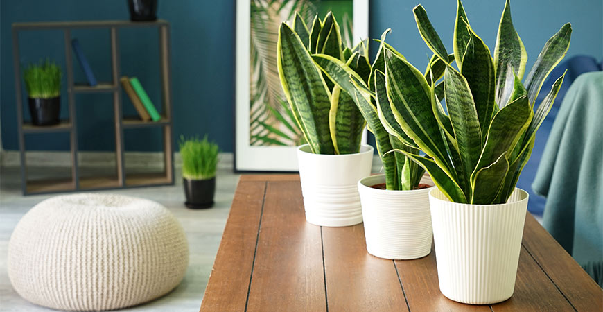Growing snake plant can improve your air quality.