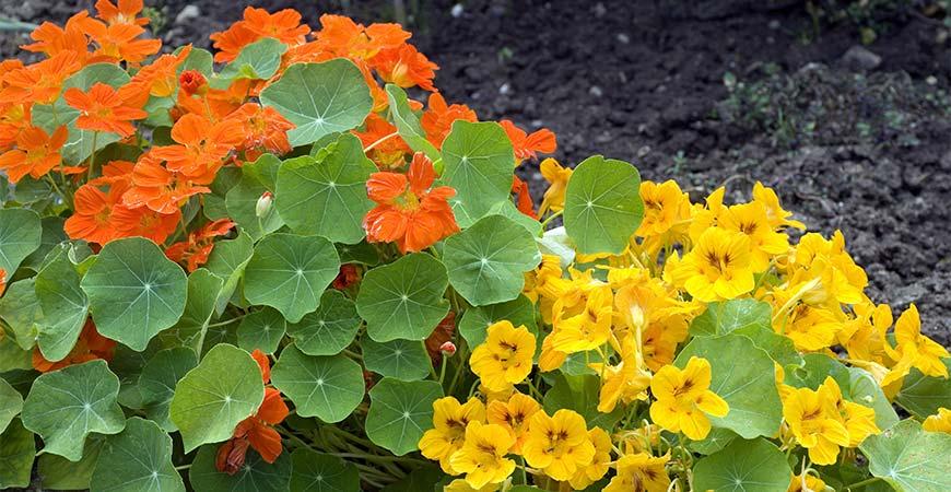 Two different colors of nasturtium