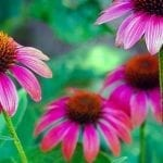 Grow & Care for Coneflowers: A How To Guide