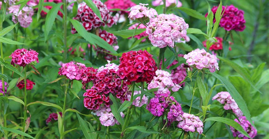 Sweet william wildflower
