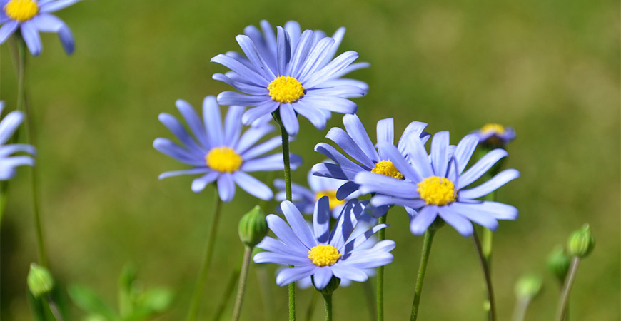 Add blue flowers to your garden with blue daisies!