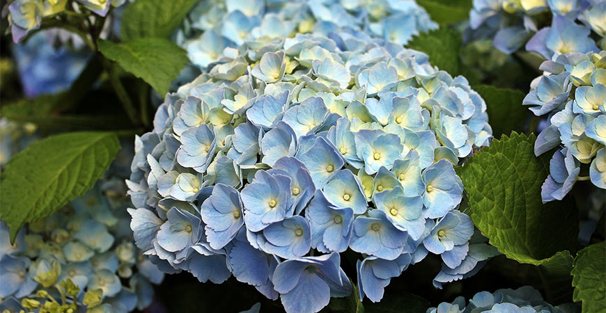 Hydrangeas can be found in beautiful blue colors!