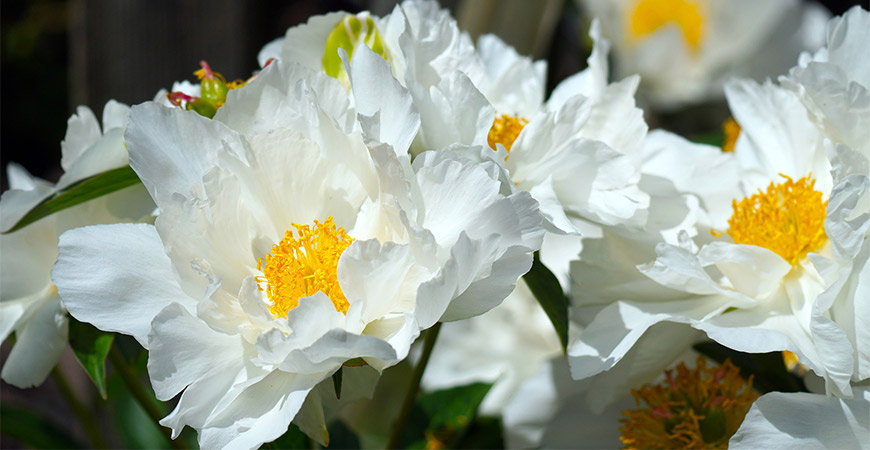Add a white floral touch to your garden with peonies!