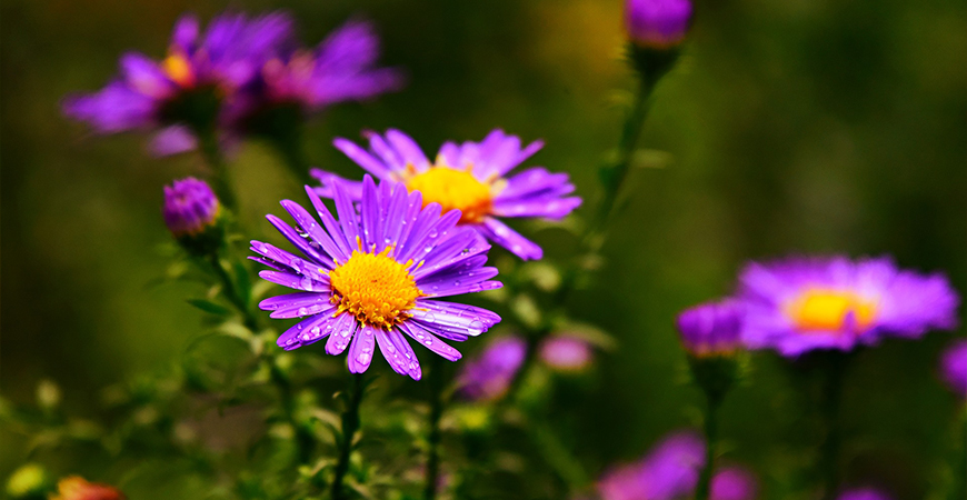 Plant asters in pollinator-friendly gardens
