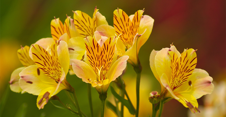 alstroemeria attracts bees and butterflies